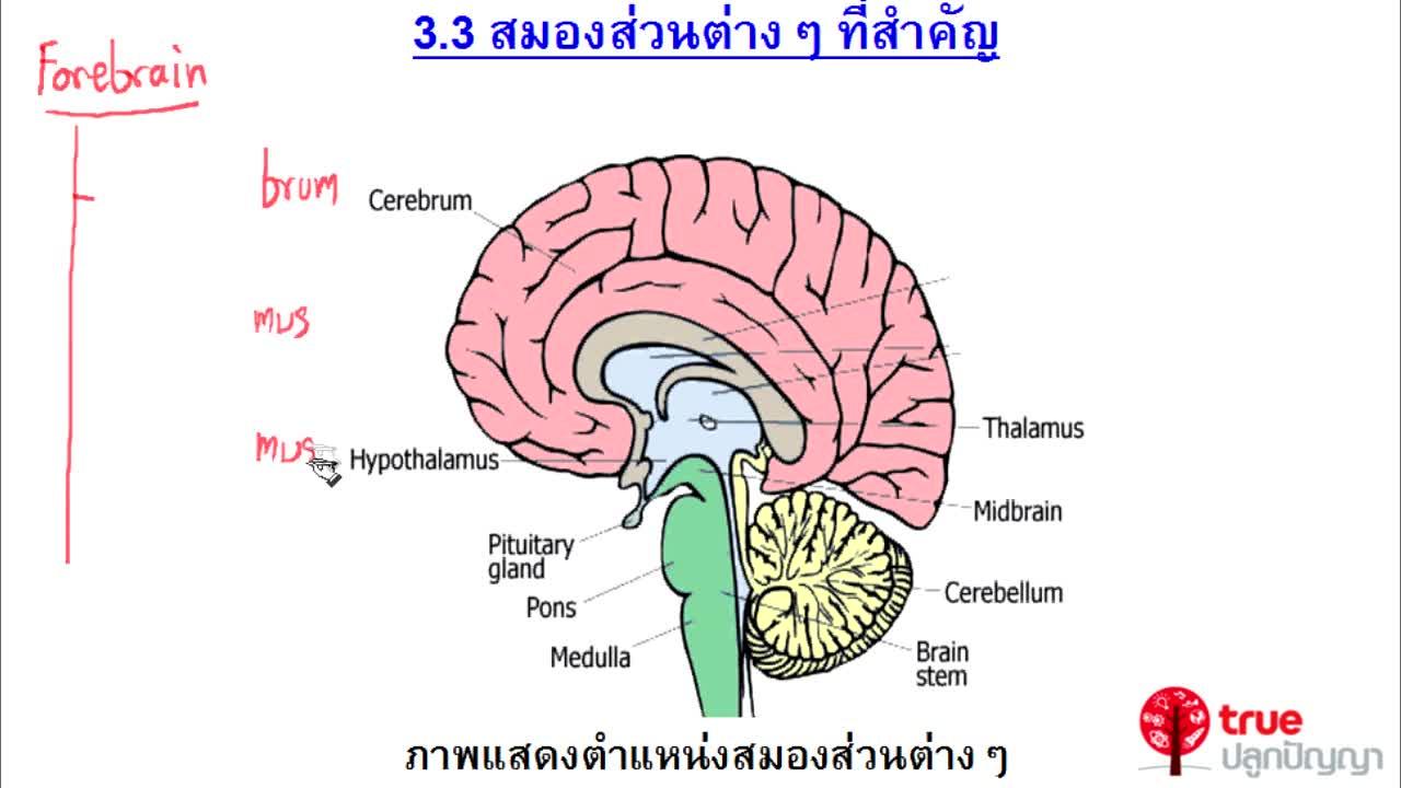 ชีววิทยา ม.4-6 เรื่อง ระบบประสาทของสัตว์มีกระดูกสันหลัง ตอนที่ 4