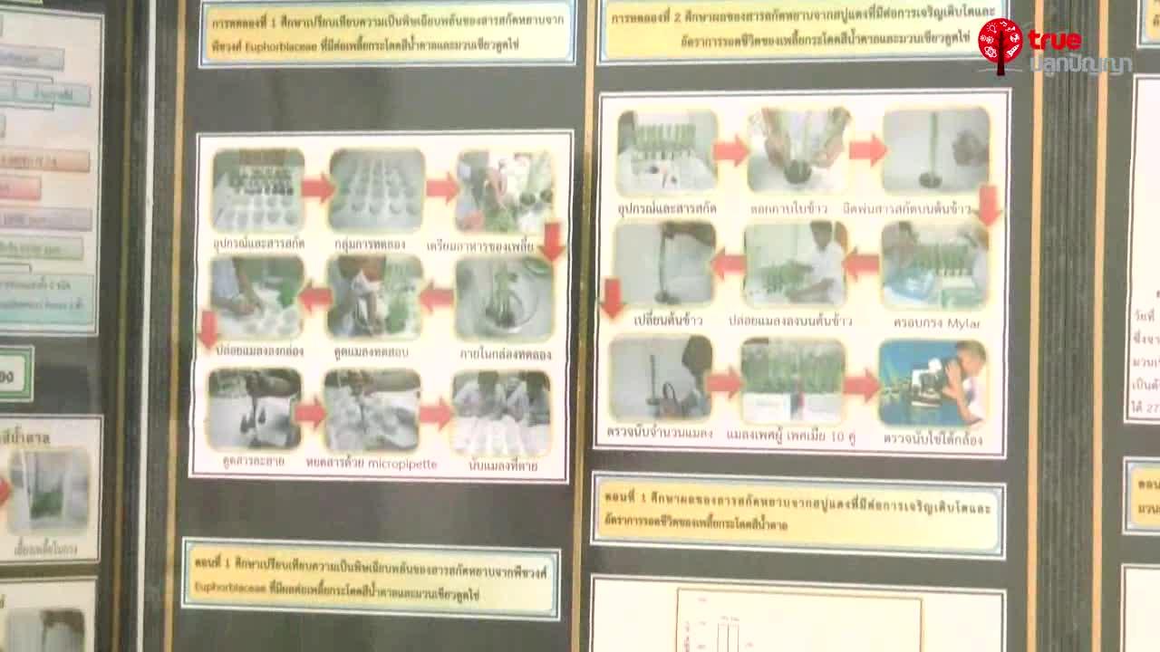 โครงงานวิทยาศาสตร์ เรื่อง สารสกัดหยาบจากสบู่แดงที่มีผลต่อการเจริญเติบโต