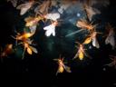 วันละนิดวิทย์เทคโน ตอน แมลงเม่าทำไมชอบบินเข้ากองไฟ