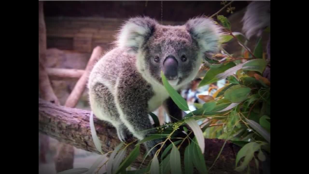 วันละนิดวิทย์เทคโน ตอน ทำไมโคอาลาจึงชอบอยู่บนต้นยูคาลิปตัส