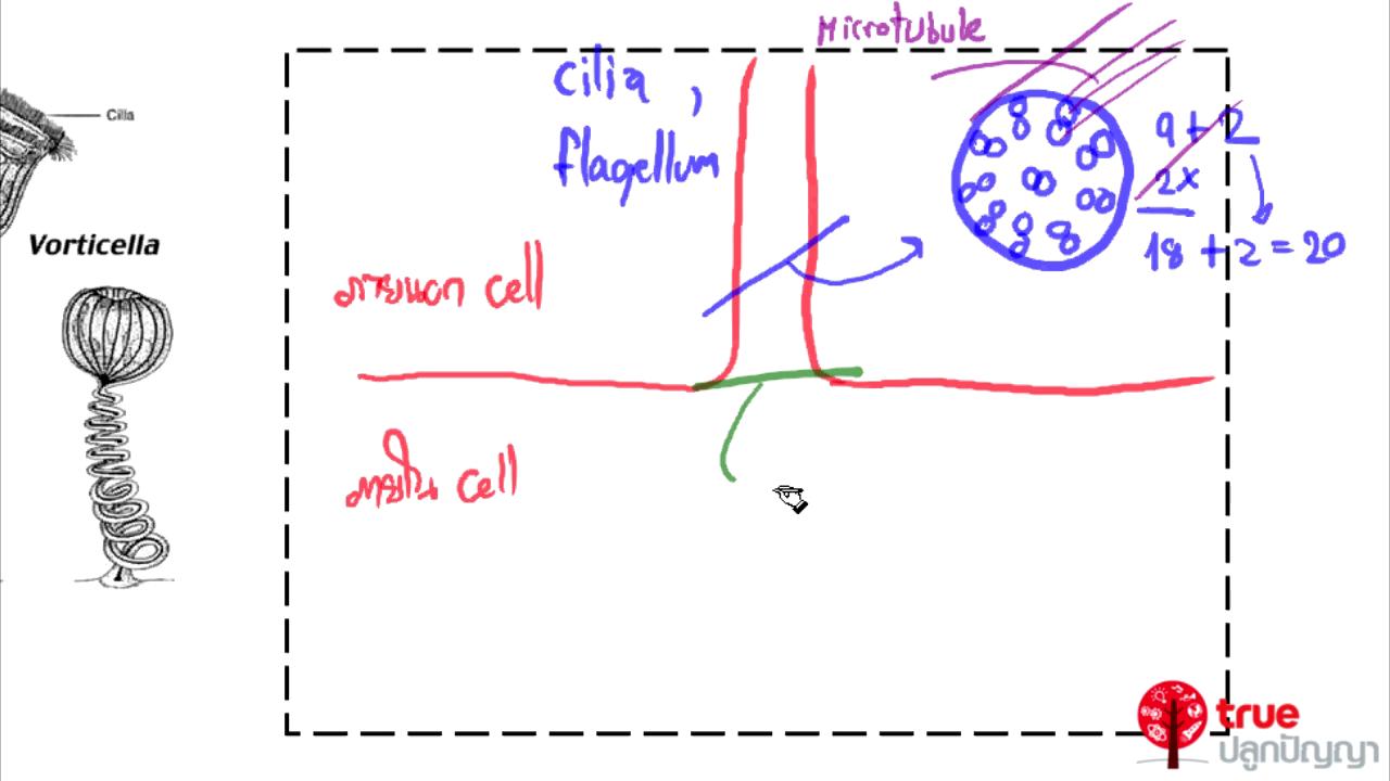 ชีววิทยา ม.4-6 เรื่อง การเคลื่อนไหวของโปรโตซัว สัตว์และคน ตอนที่ 1